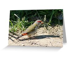 Red Browed Finch Greeting Card