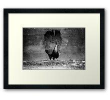 Black and White peacock  Framed Print