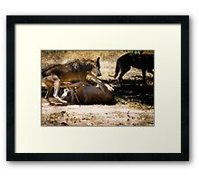 Wolfs fighting for dominance Framed Print