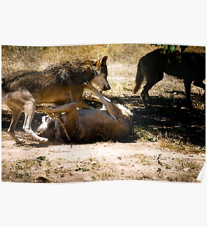 Wolfs fighting for dominance Poster