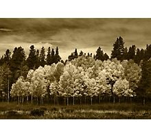 Aspen Trees, Rocky Mountain National Park Photographic Print