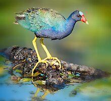 Purple Gallinule by Bonnie T.  Barry