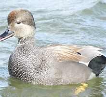 Gadwall by LoveOf