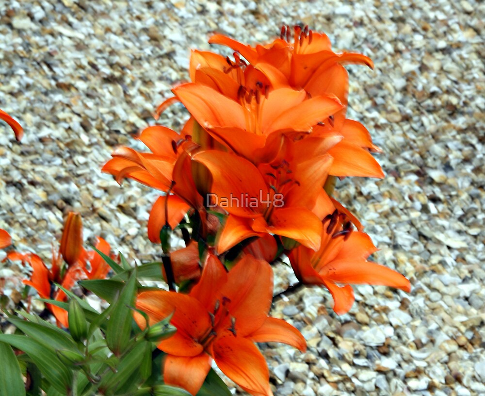 BRIGHT COLOURED LILLY . by Dahlia48
