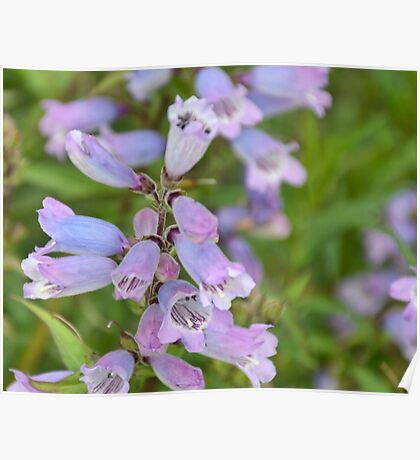 Pretty Purple Flowers Poster