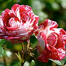 Candy Cane Roses... by Carol Clifford