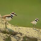 Killdeer Mother and Chick by Joe Jennelle