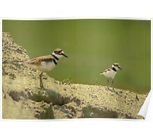 Killdeer Mother and Chick Poster