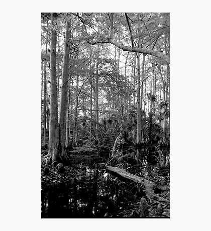 Cypress Swamp #2. Green Swamp W.M.A. Photographic Print