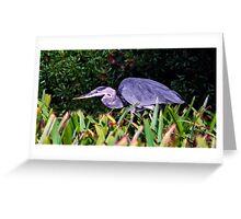 Great Blue Hunter. Chassahowitzka N.W.R. Greeting Card