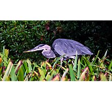 Great Blue Hunter. Chassahowitzka N.W.R. Photographic Print