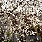 White Cherry Plum blossom in Hill End by wallflowerarts
