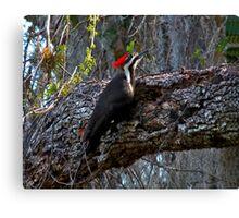 Pileated Woodpecker. Shingle Creek. Canvas Print