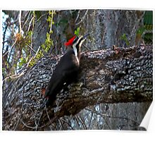 Pileated Woodpecker. Shingle Creek. Poster