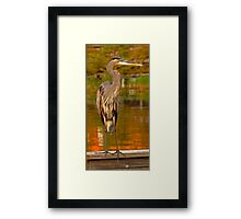 Great Blue Heron. Blue Cypress Lake. Framed Print
