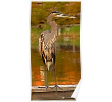 Great Blue Heron. Blue Cypress Lake. Poster
