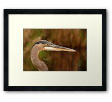 Great Blue Heron Portrait. Blue Cypress Lake. Framed Print