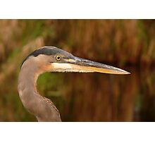 Great Blue Heron Portrait. Blue Cypress Lake. Photographic Print