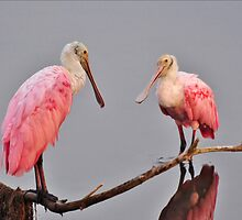 Adult Roseate Spoonbills Meeting For Breakfast by Kathy Baccari
