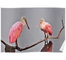 Adult Roseate Spoonbills Meeting For Breakfast Poster