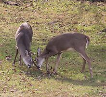 Bucks Sparring by Pineappledear