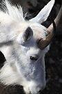 Mountain goat portrait by zumi