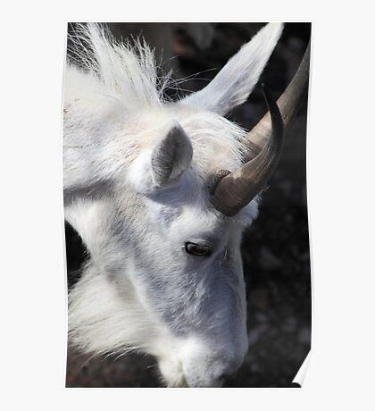 Mountain goat portrait Poster