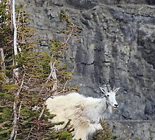 Mountain goat mother by zumi