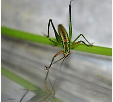 Young Green Grasshopper Photographic Print