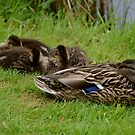 Let Sleeping Ducks Lie! by Carol Clifford