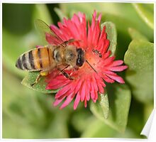 Honey Bee and Brown Ant Poster