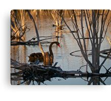 Black Swan - another rare event? Canvas Print