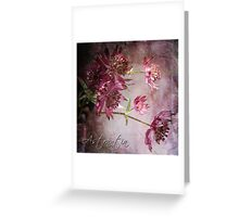 Astrantia Blossoms Greeting Card