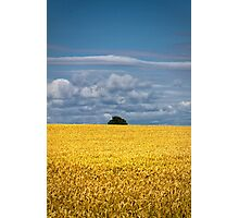 Golden harvest and blue sky Photographic Print