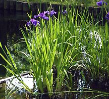 Iris -- Maymont Japanese Garden by AJ Belongia