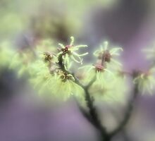 dream of soft focus by bigzed
