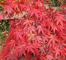 My Japanese Maple in all its glory Kilmore East Vic Australia by Margaret Morgan (Watkins)