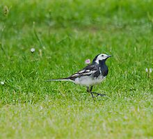 Pied Wagtail by M.S. Photography & Art
