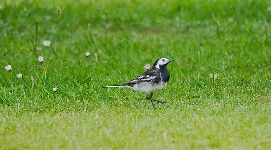 Pied Wagtail by Margaret S Sweeny