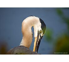 Great Blue Heron Close Up Photographic Print