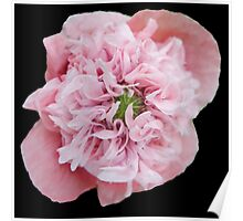 Peonie Pink  Poster