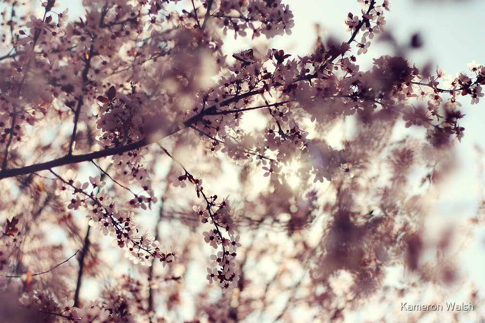 Cherry Blossoms by Kameron Walsh