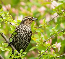 Female Red Winged Blackbird by Thomas Young