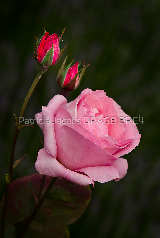 Roses by Patricia Jacobs CPAGB LRPS BPE3