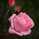 Roses by Patricia Jacobs DPAGB LRPS BPE4