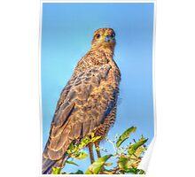 Savanna Hawk - HDR image Poster
