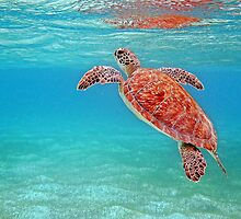 green turtle by globeboater