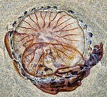 Compass Jellyfish ~ Lyme Regis by Susie Peek