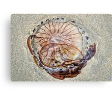 Compass Jellyfish ~ Lyme Regis Metal Print