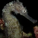 Seahorse by Henry Jager